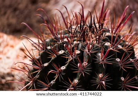 Cactus , echinocactus grusonii, golden barrel cactus - stock photo