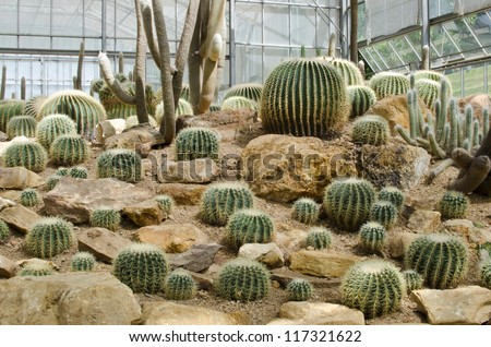 Cactus Echinopsis calochlora in the glasshouse