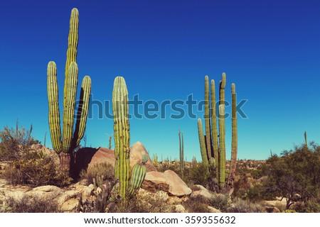 Cactus fields in Mexico,Baja California - stock photo
