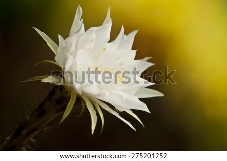 cactus flower - stock photo