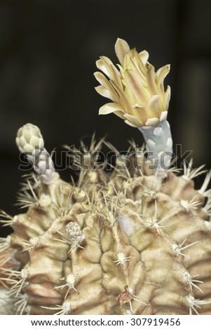 Cactus flower close-up - stock photo