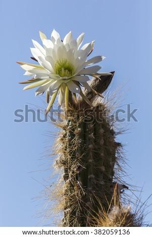 Cactus flower in Bolivia - stock photo