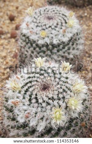 Cactus flower on white background green. - stock photo