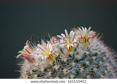 Cactus flowers  on dark  background.Image with shallow depth of field.
