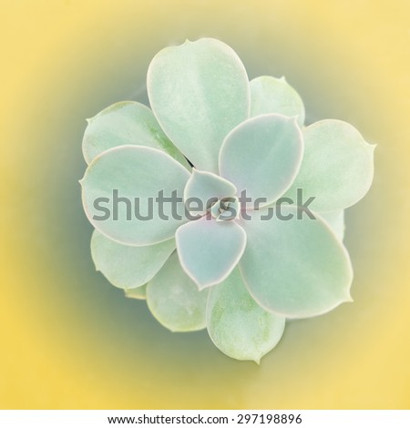 Cactus flowers on yellow background , soft focus - stock photo