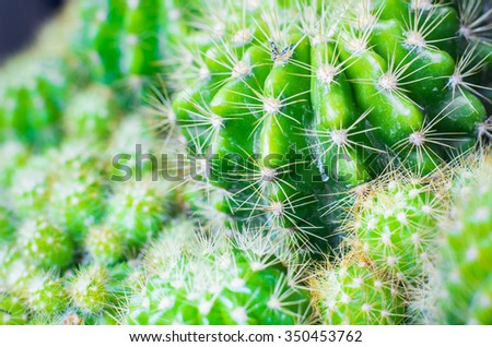 cactus.Nature green background or wallpaper: domestic cactus closeup.