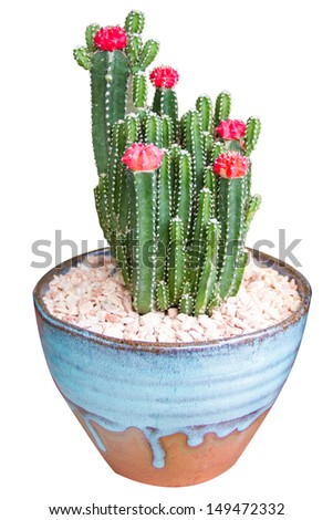 Cactus on a gravel surface and white background - stock photo