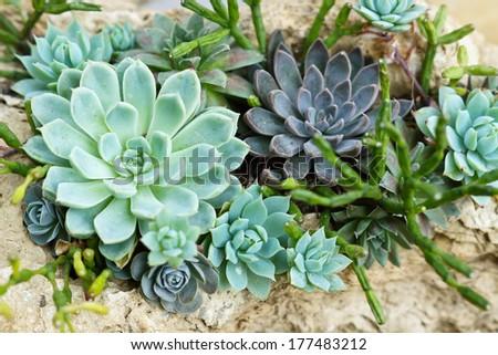 cactus on rock / succulent  - stock photo
