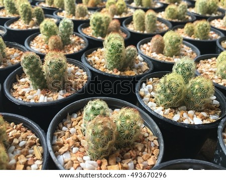 Cactus plant in the sun with copy space. Selective focus of a desert plant with defocused background, Miniature succulent plants