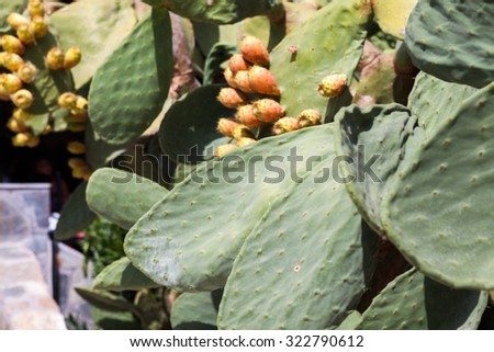 Cactus plant with fruits in a hot summer day - stock photo