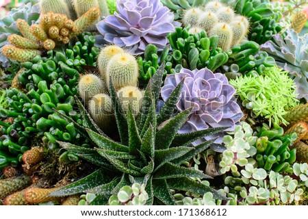 Cactus plants in garden - stock photo