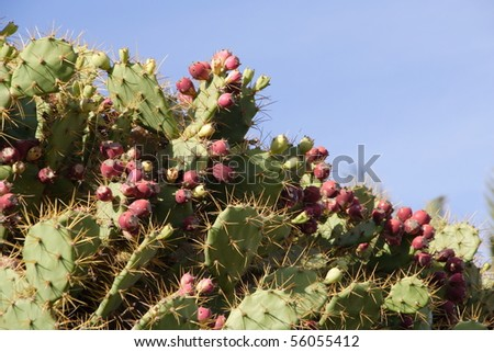 Cactus with offsprings in Gran Canaria
