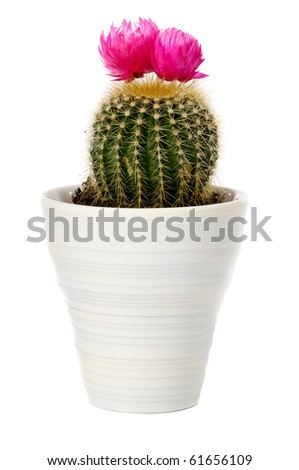Cactus with pink flower in a pot. Isolated on a white background. - stock photo