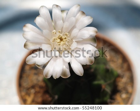 Cactus with white flower. - stock photo