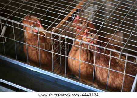 Caged chickens - stock photo