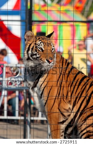Caged Tiger - stock photo