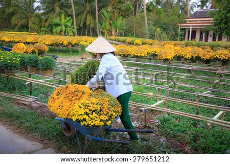 Cai Mon flower village, Can Tho, Vietnam - February 6, 2015: undefined, rural women harvested, transported chrysanthemums.
