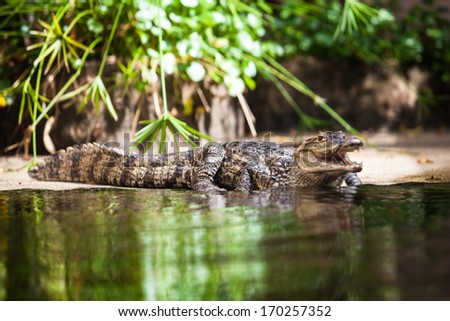 Caiman crocodilus. young alligator - stock photo