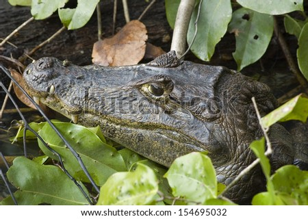 Caiman in the river. Costa Rica.  - stock photo