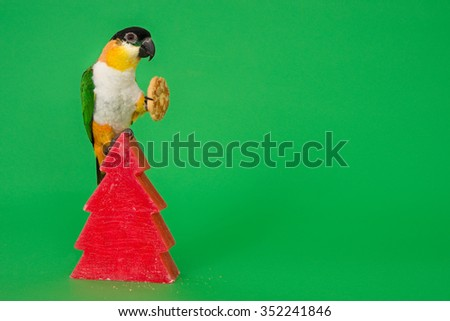 Caique (black-headed noble parrot) sitting on a red candle while eating a Christmas cookie with almonds. Green background with room for text.  - stock photo