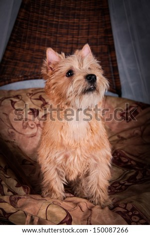 Cairn Terrier dog in the hay, wheat - stock photo