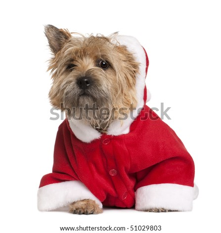 Cairn terrier in Santa coat, 9 months old, sitting in front of white background - stock photo