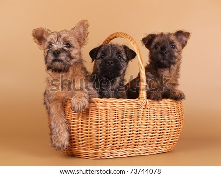 cairn terrier puppy - stock photo