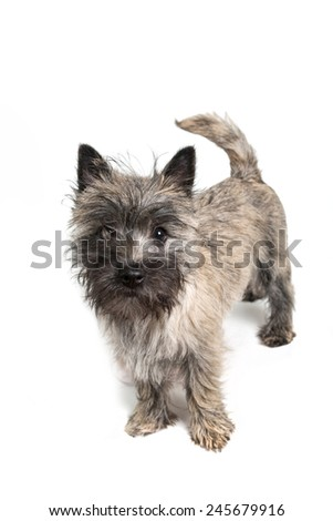 Cairn terrier puppy about 6 months old on a white background. - stock photo