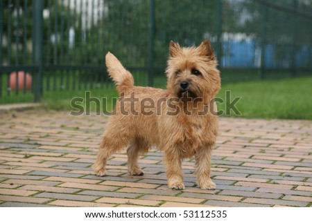 Cairn Terrier stacked - stock photo