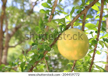 Calabash Tree and Fruit (Crescentia L). Calabash is primarily used for utensils, such as cups, bowls, and basins - stock photo