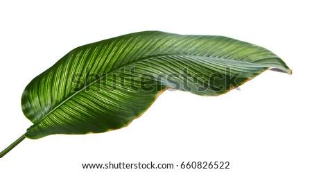 Calathea Plant Stock Images RoyaltyFree Images Vectors