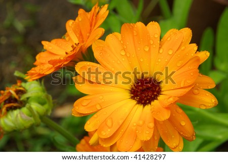 calendula - stock photo