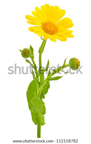 Calendula flower isolated on white background - stock photo