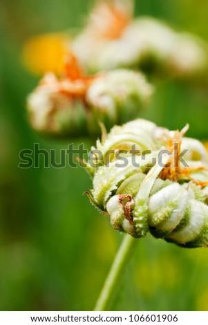 Calendula flower macro with shallow DOF - stock photo