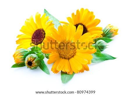 calendula. flowers isolated on the white background - stock photo