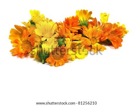 calendula flowers on a the white background - stock photo
