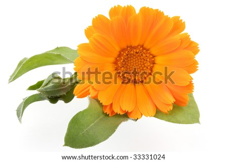 Calendula isolated on white - stock photo