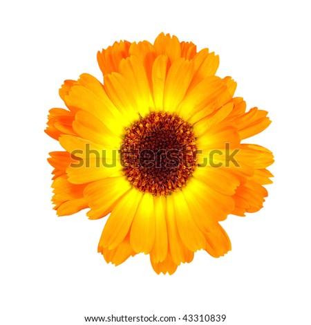 Calendula ( isolated over white background) - stock photo