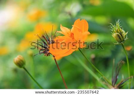 Calendula. Marigold flowers - stock photo
