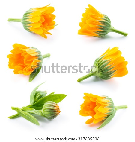 Calendula. Marigold flowers and buds isolated on white. Collection. - stock photo