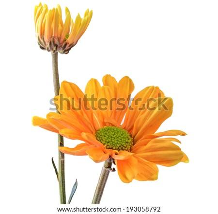 Calendula. Marigold flowers , isolated on white background - stock photo