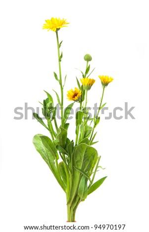 calendula, marigold isolated on white - stock photo
