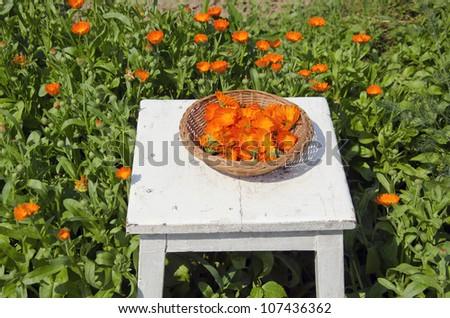 calendula medical herb harvest in the garden - stock photo