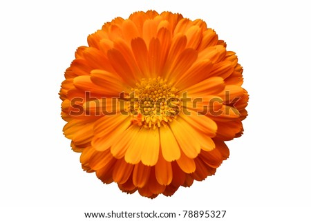 Calendula officinalis - stock photo