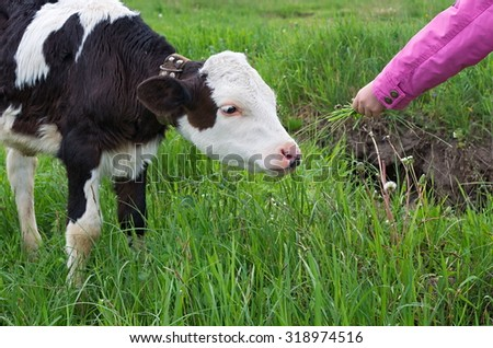 calf and a child's hand