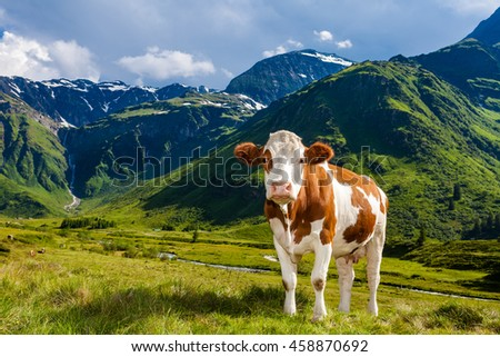 Calf cow stand on alp mountain pasture. Green mountains with blue sky. - stock photo