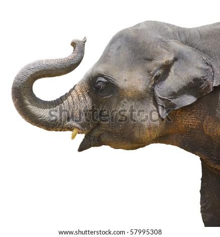 Calf Elephant thailand isolated - stock photo