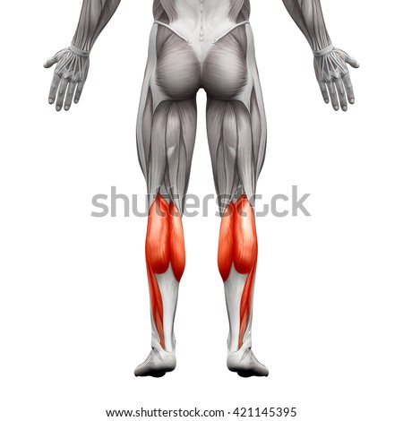 Calf Muscle Male Gastrocnemius Plantar Anatomy Stock Illustration