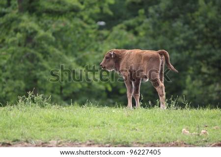calf of european bison, bison bonasus - stock photo