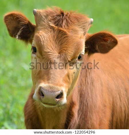 calf portrait at the green filed - stock photo
